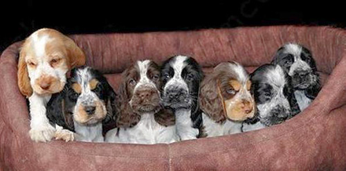 A litter of parti coloured puppies